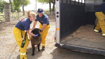 UC Davis firefighters carefully guide a sheep into a waiting animal transport.